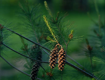 Photograph - Pine Cones At Dusk by Jamieson Brown