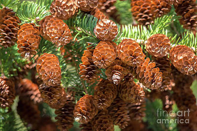 Photograph - Pine Cones From Below by Cheryl Baxter