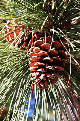 Photograph - Pine Cones In Montana by Tatiana Travelways