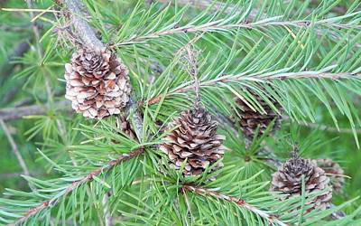Photograph - Pine Cones by John Parry
