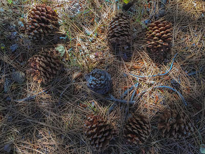 Photograph - Pine Cones by Jonathan Nguyen