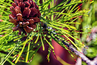 Photograph - Pine Cones by Nancy Marie Ricketts