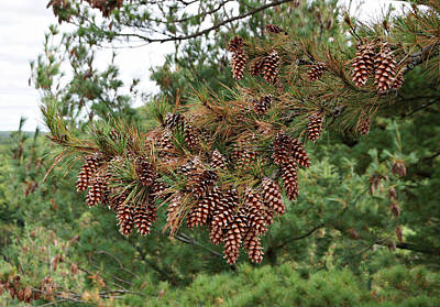 Photograph - Pine Cones by Sandy Keeton