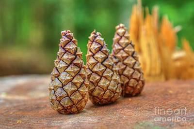 Pine Cones Photograph - Pine Cones by Veikko Suikkanen