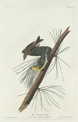 Pine Trees Drawing - Pine Creeping Warbler by Dreyer Wildlife Print Collections