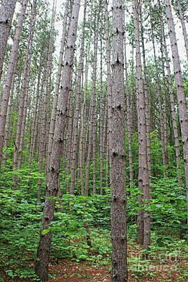 Photograph - Pine Forest by Erick Schmidt