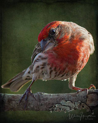 Photograph - Pine Grosbeak - 9806,st by Wally Hampton