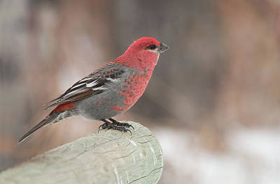 Photograph - Pine Grosbeak by Celine Pollard