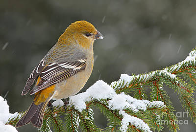 Pine Grosbeak-female In The Winter Storm Art Print by Mircea Costina Photography