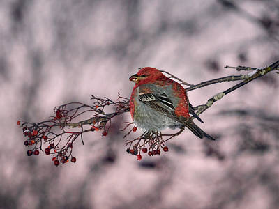 Photograph - Pine Grosbeak by Jouko Lehto