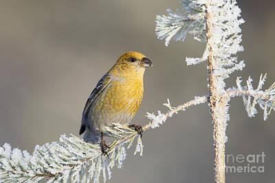 Pine Grosbeak Photograph - Pine Grosbeak by Jules Cox/FLPA