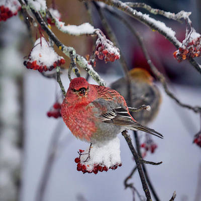 Photograph - Pine Grosbeak Male by Jouko Lehto