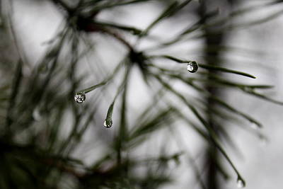 Photograph - Pine In Rain by Trent Mallett