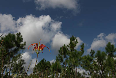 Photograph - Pine Lily And Pines by Paul Rebmann