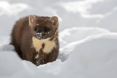 Photograph - Pine Marten by Arterra Picture Library
