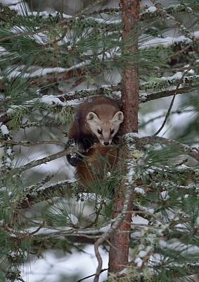 Photograph - Pine Marten by David Porteus