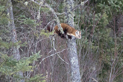 Photograph - Pine Marten Hanging In Tree 2 by Brook Burling