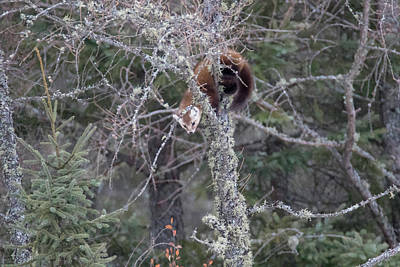 Photograph - Pine Marten Hanging In Tree by Brook Burling