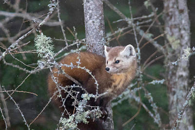 Photograph - Pine Marten Look Away by Brook Burling