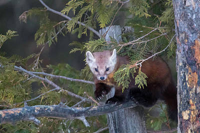 Photograph - Pine Marten On Branch 1 by Brook Burling