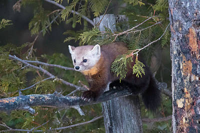 Photograph - Pine Marten On Branch 2 by Brook Burling