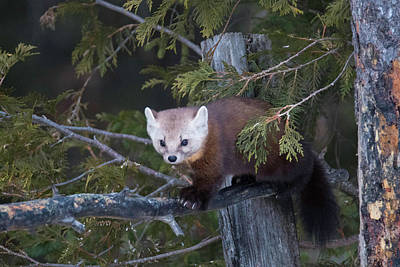 Photograph - Pine Marten On Branch 3 by Brook Burling