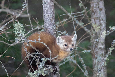 Photograph - Pine Marten On Branch by Brook Burling