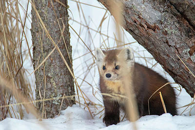 Photograph - Pine Marten Snow by Brook Burling