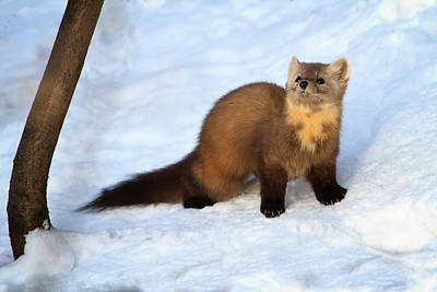 Photograph - Pine Martin 2 by Gary Hall