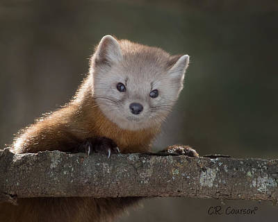 Photograph - Pine Marten by CR Courson