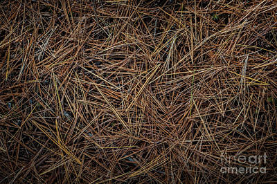 Pine Needles On Forest Floor Print by Elena Elisseeva