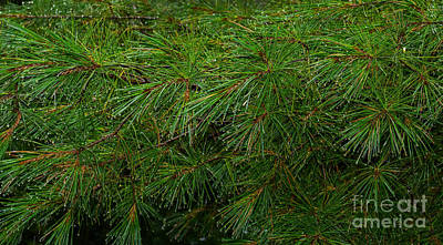 Photograph - Pine Needles With Raindrops by Les Palenik