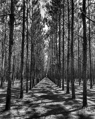 Pine Plantation 5655_6_7 Art Print