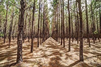 Pine Plantation Wide Color Art Print