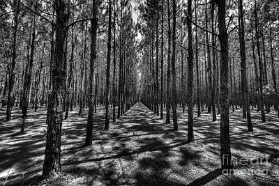 Photograph - Pine Plantation Wide by Tommy Patterson
