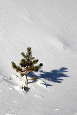 Photograph - Pine Shadow by Shane Bechler