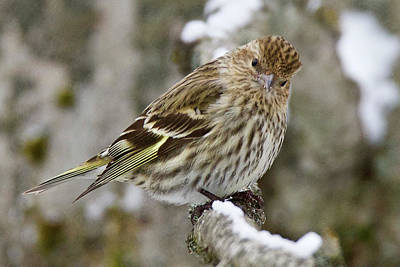 Photograph - Pine Siskin 6506 by Michael Peychich