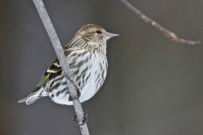 Photograph - Pine Siskin 6541 by Michael Peychich