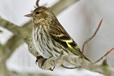 Photograph - Pine Siskin 7333 by Michael Peychich