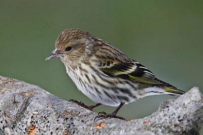 Photograph - Pine Siskin 7509 by Michael Peychich