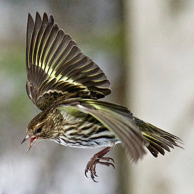 Photograph - Pine Siskin 7649 by Michael Peychich