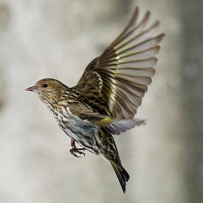 Photograph - Pine Siskin 7667 by Michael Peychich