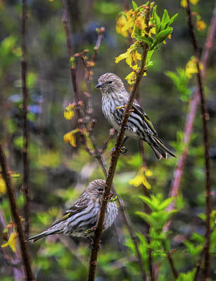 Photograph - Pine Siskin by Bellesouth Studio