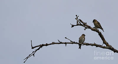 Photograph - Pine Siskin by Elizabeth Winter