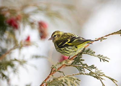 Siskin Photograph - Pine Siskin. by Kelly Nelson