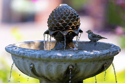 Wall Art - Photograph - Pine Siskin Perched On Water Fountain by David Gn