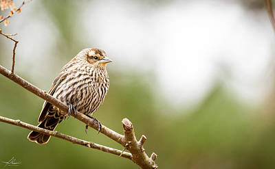 Photograph - Pine Siskin by Phil Rispin