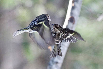 Photograph - Pine Siskins Fighting 6829 by Michael Peychich