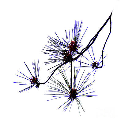 Pine Needles Photograph - Pine Straw by Skip Willits