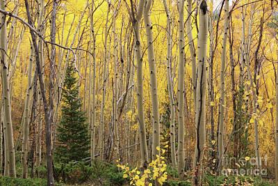 Photograph - Pine Tree Among Aspens 4873 by Jack Schultz